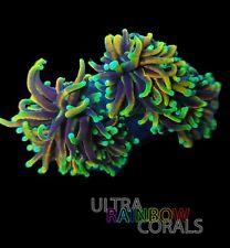 Ultra Rainbow Coral - Dragon Soul Torch - Euphyllia - Frag - Lps -