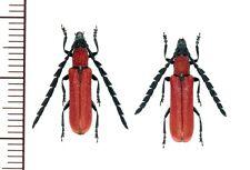 Cerambycidae:Pyrestes yayeyamensis pair A1, unmounted,Japan,beetle