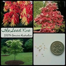 10+ SOURWOOD TREE SEEDS (Oxydendrum arboreum) Flowering Red Sorrel Bees Pollen