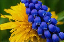 483087 Dandelions y Muscari Quebec Canadá A4 Foto Textura impresión