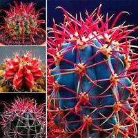 20Stück/Pack Kakteensamen Kaktus Samen Rot Kaktus Kakteen Feigenkaktus Pflanzen