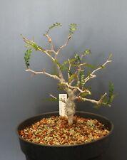 Operculicarya pachypus - 190069 - Madagascar - AWESOME RARE PLANT - NEW PICS