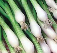 onion, WHITE LISBON, green bunching onion or SCALLION, 99 SEEDS! GroCo buy USA