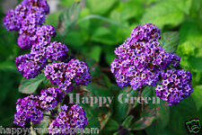 HELIOTROPE - EXTRA DWARF MARINE - 130 SEEDS - Heliotropium Arborescens - Flower