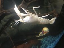 Live Ornamental Freshwater Crayfish - Snow White Lobster Exotic Species Babys