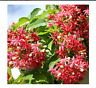 50 seeds Rare Quisqualis Plant,Bonsai Flower,NIX Colours, Heirloom Quisqualis