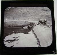 Glass Magic Lantern Slide A PAIR OF OTTERS C1900
