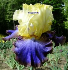 "Tall Bearded ""Adventurous"" Iris - Yellow And Electric Blue Violet '10 * Pre-Sale"
