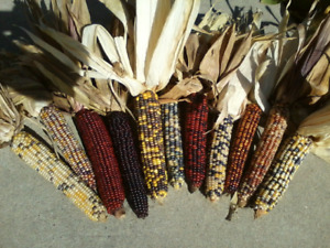 """12 Full Size Indian Corn Ears, Measuring length of 6"""" to 11"""""""