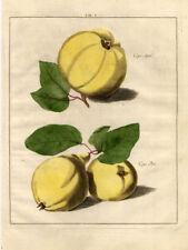 Antique Print-QUINCE-APPLE-PEAR-Pomologia-Knoop-1758