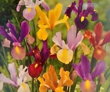 Iris Tall Dutch Mixed Colours Hollandica Spring Flowering Garden Bulb 10