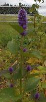 exotisch Garten Pflanze Samen winterhart Sämereien Exot Kräuter ANIS-YSOP