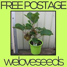 LOCAL AUSSIE STOCK - Mini Kiwi Bonsai, Fruit Tree Plant Seeds ~50x FREE SHIPPING