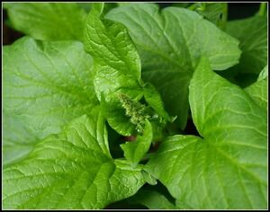GOOD KING HENRY ANCIENT NEOLITHIC FOOD PLANT VITAMIN RICH 50 FRESH SEEDS