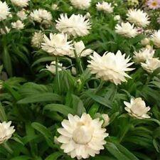Strawflower- (Helichrysum Bracteatum) - White - 200 seeds