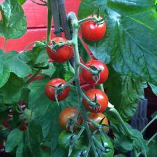 Idyll tomate rojo alemana antigua variedad cocktailtomate cherrytomate cosecha a partir de julio de