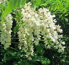 New listing Black Locust Tree seedling Flowering Renewable firewood Posts Native Live Plant