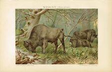 Farbtafel WISENT 1895 Original-Lithographie