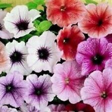 Petunia - Mirage Reflections Mixed - 50 Seeds