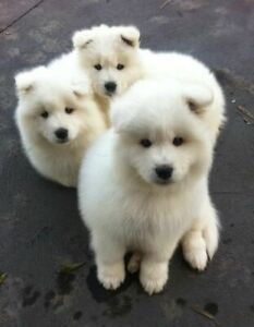 Three cute white dogs poster, Funny dogs poster, Home Decor, Wall Art