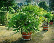 ☺5 graines de palmier nain (chamaerops humilis)