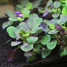 Lobelia Cardinalis Dwarf Freshwater Live Aquarium Plants Bunch Buy2Get1Free*