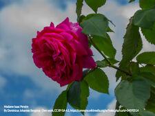 Starter Rose Plants - Old Garden Roses & Modern Roses. Suggested for southern Us