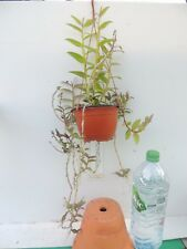 orchid / orchidee Dendrobium pierardii x loddigesii xl