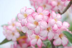 Desert Rose/Adenium Obsedium (adenium arabicum) Reliable Viable Seeds