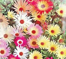 MESEMBRYANTHEMUM - LIVINGSTONE DAISY - 1800 HIGH QUALITY FLOWER SEEDS