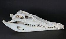 Krokodil Schädel Crocodylus niloticus crocodile skull 28 cm echtes Präparat 2134
