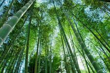 25 GIANT MOSO BAMBOO SEEDS - Phyllostachys pubescens