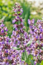 Seeds Herb Salvia Sage Medicinal Flower Perennial Garden Cut Heirloom Ukraine