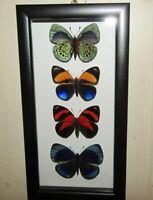 Schmetterling Nymphalidae im Rahmen