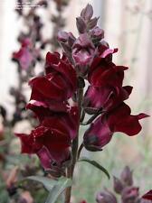 50+ Digitalis Foxglove Black Beauty Flower Seeds / Biennial