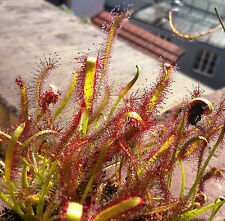 80 semillas Drosera capensis Kap insectívora Cape sundew Seeds kapsonnentau es carnívoro