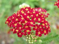 Yarrow- Red- Achillea- 250 seeds