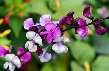Seeds Hyacinth Beans Dolichos Giant Climbing Flower Annual Garden Cut Ukraine