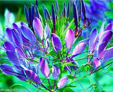 1000 Cleome Hassleriana Seeds Spider Flower Chameleon in Bee Plant Spinosa Mixed