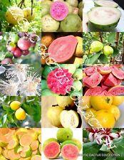 GUAVA FRUIT MIX exotic tropical guayaba rare plant Psidium guajava seed 50 SEEDS