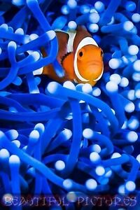 Tier Foto - Clownfisch Foto - Natur Foto - Hochglanz - Größe 10x15 - Farbe