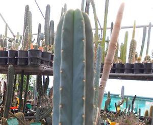 Trich. bridgesii 'Tig' x Trich. scopulicola Plant Cactus Approx. 20cm