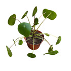 Pilea peperomioides Chinese Money Plant UFO Plant 4