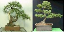 50 X PINO ALBERO Semi 25 x BLACKJACK Pine & 25 x CINESE White Pine semi.