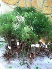 APPALACHIAN MOUNTAIN GROWN WHITE PINE TREE 3 FOOT STARTER TREE SEEDLING 36 INCH
