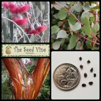 20 SILVER PRINCESS TREE SEEDS (Eucalyptus caesia magna) Native Gum Pink Flower