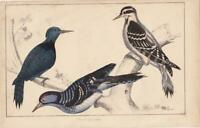 BLACK BREASTED WOODPECKER. Hand-Coloured ANTIQUE BIRD PRINT.Natural History 1850