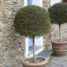 Standard Box Privet Laurel Topiary Tree Deciduous Evergreen Flowering Door Plant