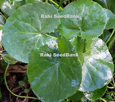 Gotu Kola PLANT - A Medicinal Herb used for thousands of years in India & China