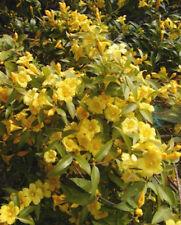 Gelsemium sempervirens Carolina Jasmine Vine 10 seeds